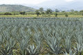Agave plantation for production of mezcal Stock Image
