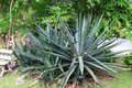 Agave tequilana Royalty Free Stock Photo