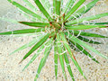 Agave x leopoldii `Hammer Time`Hammer Time Century Plant