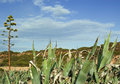 Agaves plants with flower Royalty Free Stock Photo