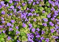 Ageratum background view of the Stock Photos