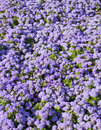 Ageratum houstonianum flower bed with many flowers blue colour Stock Photos