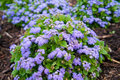 Ageratum neptune blue blooming beautifully Royalty Free Stock Image