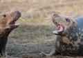 Aggressiva grey seals Arkivfoto