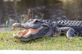 Aggressive alligator in everglades park in florida Stock Photography