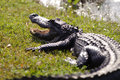 Aggressive alligator in everglades park in florida Stock Images