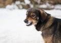 Aggressive, angry dog Royalty Free Stock Photo