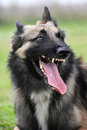 Aggressive belgian shepherd tervueren Royalty Free Stock Photos