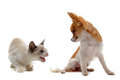 Aggressive cat and chihuahua Royalty Free Stock Photo