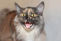 Aggressive cat show teeth and hisses at the enemy Royalty Free Stock Images