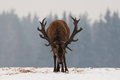 Aggressive Deer. Head Down Adult Powerful Red Deer With Trophy Horns Goes Directly To You. Attacking Deer Stag Closeup. Dominant R Royalty Free Stock Photo