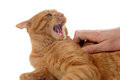 Aggressive ginger cat Stock Photography