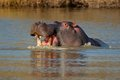Aggressive hippopotamus Royalty Free Stock Photography