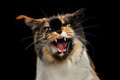 Aggressive Hiss Maine Coon Cat, Looking in Camera Isolated Black Royalty Free Stock Photo