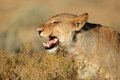 Aggressive lioness Stock Images