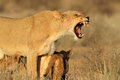 Aggressive lioness with cubs Royalty Free Stock Photo