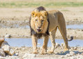 Aggressive male lion walking up and staring straight into the camera Stock Photography