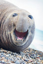 Aggressive sea elephant Royalty Free Stock Photo