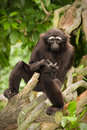 Agile gibbon Royalty Free Stock Photo
