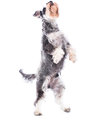 Agile schnauzer standing on his hind legs as he begs for treats or rewards while doing obedience and behavioural training isolated Stock Image