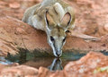Agile Wallaby drinking Macropus agilis Royalty Free Stock Photo