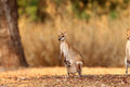Agile wallaby macropus agilis in darwin australia Royalty Free Stock Photos