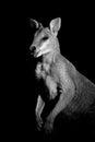 Agile wallaby monochrome portrait of an macropus agilis Royalty Free Stock Photo