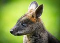Agile wallaby picture of a beautiful Stock Images