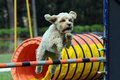 Agility dog Royalty Free Stock Photography
