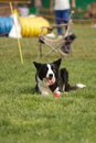 Agility dog border collie shot from Stock Photography