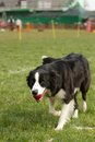 Agility dog border collie shot from Stock Image