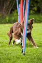 Agility dog doing slalom Stock Image
