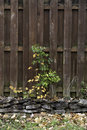 Aging fence and weed a growning in front of an in a stone border Royalty Free Stock Images