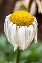 Aging yellow daisy a beautiful on a bright sunny day Stock Image