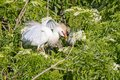 Agitated Cattle Egret In The Branches Royalty Free Stock Photo