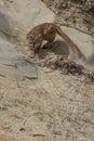 Agitated mountain lion stalking on ledge prey Stock Photo