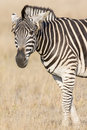 Agitated zebra with ears back Royalty Free Stock Photo