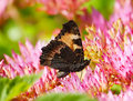 Aglais urticae butterfly on a bright pink flower Royalty Free Stock Photography