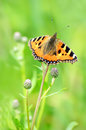 Aglais urticae butterfly on flower a stalk of plant Stock Image