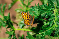 Aglais urticae butterfly on fresh foliage Royalty Free Stock Photos
