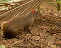 Agouti gamboa panama Royalty Free Stock Photography