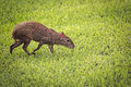 Agouti Royalty Free Stock Photo