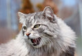 Agressive cat in nature during spring Royalty Free Stock Photography