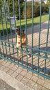 Agressive looking guard dog with gnashing teeth Royalty Free Stock Photo