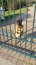 Snarling Agressive looking dog barring entrance Royalty Free Stock Photo