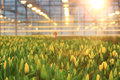 Agribusiness plantation of tulips in a greenhouse Stock Images
