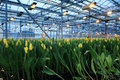 Agribusiness plantation of tulips in a greenhouse Stock Image