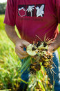 Agriculteur harvesting onions Photo libre de droits