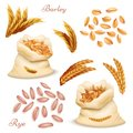 Agricultural cereals - barley and rye vector set. Realistic grains and ears isolated on white background Royalty Free Stock Photo