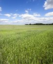 Field with green wheat. Royalty Free Stock Photo